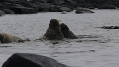 Walrus (Odobenus rosmarus), mid shot pair in shallows, fighting or dominance Stock Footage
