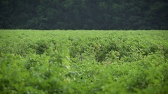 Potato plants waving in the wind Stock Footage
