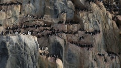 Track alongside ledges with seabirds (mostly guillemots or murres genus Uria) - Stock Footage