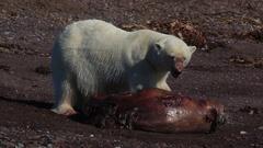 Radio-collared polar bear (Ursus maritimus) feeds on dead seal, Antarctica Stock Footage