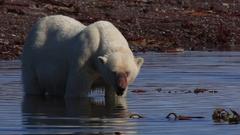 Radio-collared polar bear (Ursus maritimus) moves in water, Antarctica Stock Footage