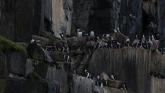 Pan across guillemot colony, Antarctica Stock Footage