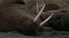 Walrus (Odobenus rosmarus), close adult portrait with blood on tusks, Antarctica Stock Footage