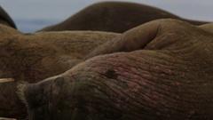 Walrus (Odobenus rosmarus), close adult portrait rubbing head (grooming), Stock Footage