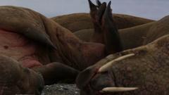 Walrus (Odobenus rosmarus), medium close adult rubbing back against rocks on Stock Footage