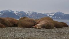 Walrus (Odobenus rosmarus), medium close shot of group sleeping, Antarctica Stock Footage