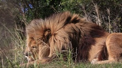African lion (Panthera leo) portrait in wind (some camera bounce), licks and Stock Footage