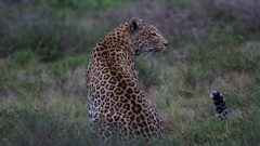 African leopard (Panthera pardus) back to camera looks around, Africa Stock Footage