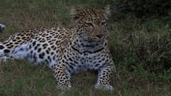 African leopard (Panthera pardus) lying down, portrait, Africa Stock Footage