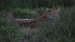 African leopard (Panthera pardus) lying down, sits up, some wind bounce, Africa Arkistovideo