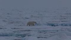 Mid shot of polar bear (Ursus maritimus) walking on sea ice, leaves frame, 2nd Stock Footage