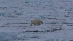 Mid shot of polar bear (Ursus maritimus) walking on sea ice toward camera, Stock Footage