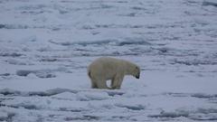Mid shot of polar bear (Ursus maritimus) yawning, Antarctica Stock Footage