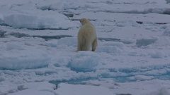 Medium shot of polar bear (Ursus maritimus) walking, leaps over crack in sea Stock Footage