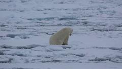 Mid shot of polar bear (Ursus maritimus) settling on sea ice, Antarctica Stock Footage