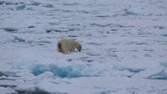 Mid shot of polar bear (Ursus maritimus) behaviour on sea ice, testing sea ice Stock Footage
