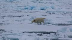 Mid shot of polar bear (Ursus maritimus) moving awkwardly over sea ice, Stock Footage