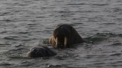 Walrus (Odobenus rosmarus), close group in shallows, Antarctica Stock Footage