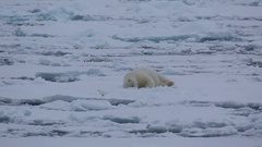 Mid shot of polar bear (Ursus maritimus) snuggling down to sleep in snow with Stock Footage
