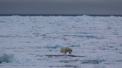 Mid distant shot of polar bear (Ursus maritimus) moving over sea ice, with edge Stock Footage