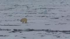 Mid shot of polar bear (Ursus maritimus) walks off and across gap in sea ice, Stock Footage
