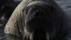 Walrus (Odobenus rosmarus), close group in shallows, tusks and Stock Footage