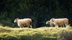 Sheep Walking Past In Evening Sunlight Stock Footage