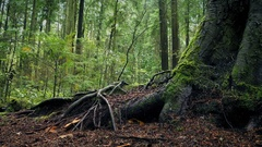 Moving Past Large Tree Roots In Forest Stock Footage