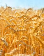 Field of wheat close-up Kuvituskuvat