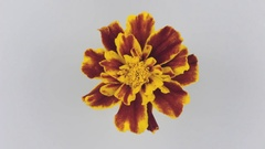 Slow rotation yellow flower on a white background Stock Footage