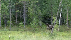 European brown bear walks out of forest Stock Footage