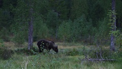 European brown bear finds food in the dusk Stock Footage