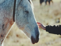 Woman hand petting white horse head Lifestyle animal and people friendship Stock Footage