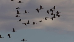 Large flock of Common cranes flying through a cloudy sky on a sunny day Stock Footage