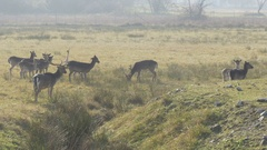 Flock of does, bucks and deers with long horns in nature reserve by Sheyno. Stock Footage