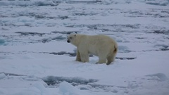 Medium shot of polar bear (Ursus maritimus) looks to camera, Antarctica Stock Footage