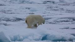 Medium shot of polar bear (Ursus maritimus) walking awkwardly over sea ice, Stock Footage