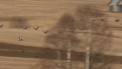 Large flock of common cranes flying over stubble fields in spring Stock Footage