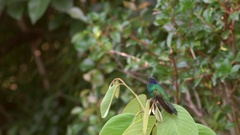 Sparkling violet ear hummingbird (Colibri coruscans). Stock Footage