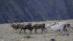 Reindeer herd at the North Cape Stock Footage
