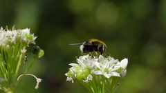 The big bee on top of the white flower Stock Footage