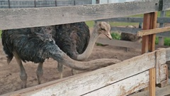 Two ostriches eat from the trough on an ostrich farm Stock Footage