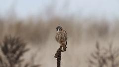 American Kestrel (Falco sparverius) Stock Footage