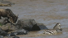 Slow motion clip of wildebeest and zebra jumping into the mara river Stock Footage