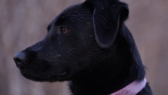Slow Motion Footage of a Black Lab Coming to Attention Stock Footage