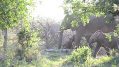 Herd of African elephant moving through the bush and feeding  Stock Footage