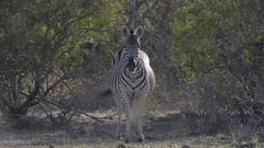 Zebra looking at the camera Stock Footage