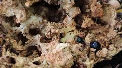 Forest beetles eat the old mushroom Stock Footage