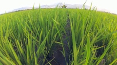 Top to bottom panning shot very vast rice field, stretched into the horizon Stock Footage