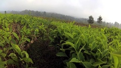 Walking slowly in vast tea gardens at the morning Stock Footage